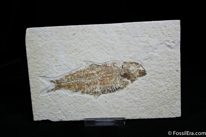 3.7 Inch Knightia Fossil Fish