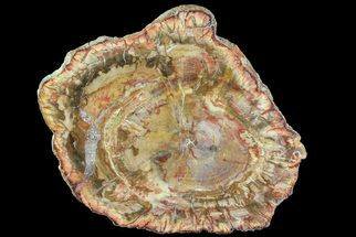 "Bargain, 3.7"" Petrified Wood (Araucaria) Slice - Madagascar For Sale, #69419"