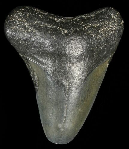 "1.96"" Juvenile Megalodon Tooth"