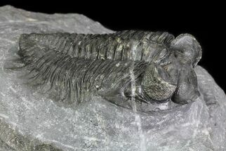 "Bargain, 2.2"" Coltraneia - Bug Eyed Trilobite For Sale, #69614"