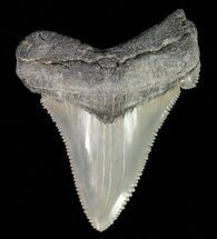 "Buy Serrated, 2.22"" Angustidens Tooth - Megalodon Ancestor - #70516"