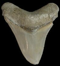 "Buy Serrated, 2.84""  Bone Valley Megalodon Tooth - Florida - #70555"