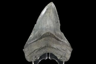 "Buy Serrated, 4.67"" Fossil Megalodon Tooth  - #70780"
