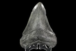 Carcharocles megalodon - Fossils For Sale - #70782