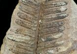 "300 Million Year Old Fern Fossil - 3"" - #5732-2"