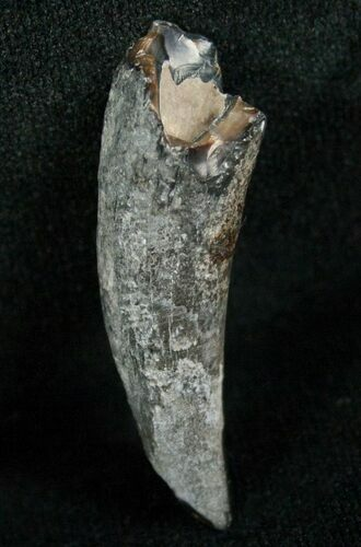 Miocene Aged Fossil Whale Tooth - 1.6""