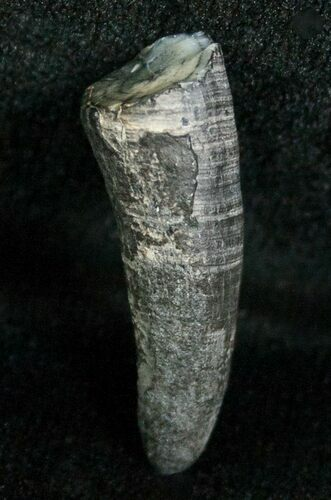 Miocene Aged Fossil Whale Tooth - .95""