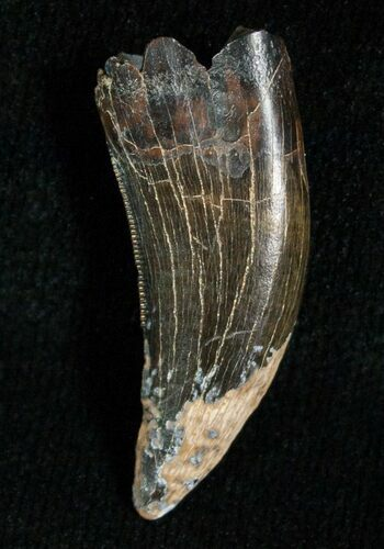 Large 1.14 Inch Raptor Tooth - Montana