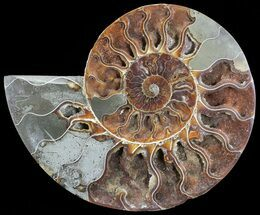"7.2"" Cut Ammonite Fossil (Half) - Agatized For Sale, #71048"