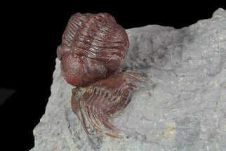 Buy Red Barrandeops On Leonaspis Trilobite - Hmar Laghdad, Morocco - #71620