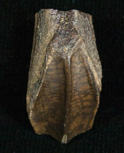 Beautiful Hadrosaur Tooth (Duck-Billed Dinosaur)