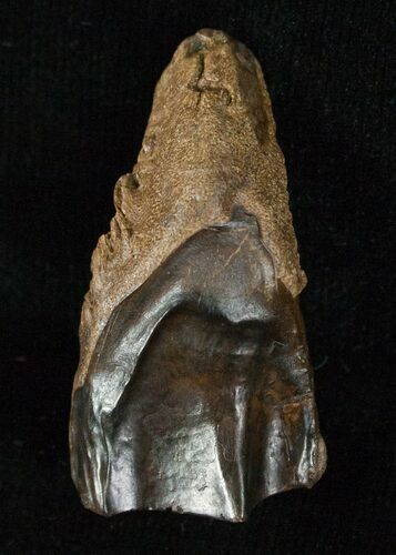 Large Worn Triceratops Tooth - 1.31""