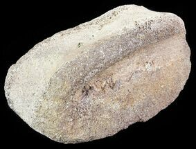 Unidentified Hadrosaur - Fossils For Sale - #71676