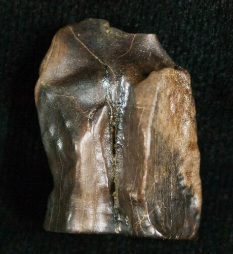 Large Triceratops Shed Tooth - .85""