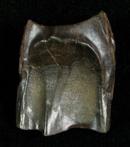 Large Triceratops Shed Tooth - .77""