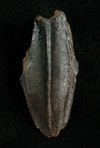 Large Hadrosaur Tooth In Nice Shape