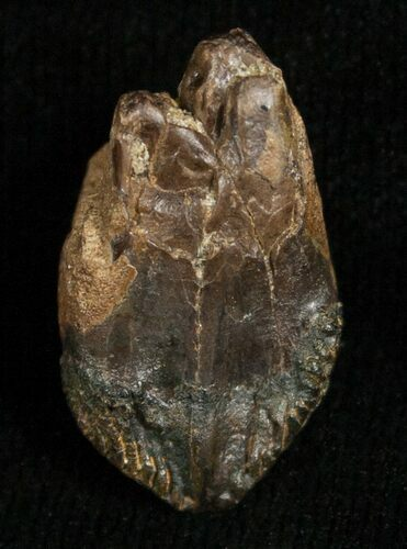 .82 Inch Triceratops Tooth - Very Little Wear