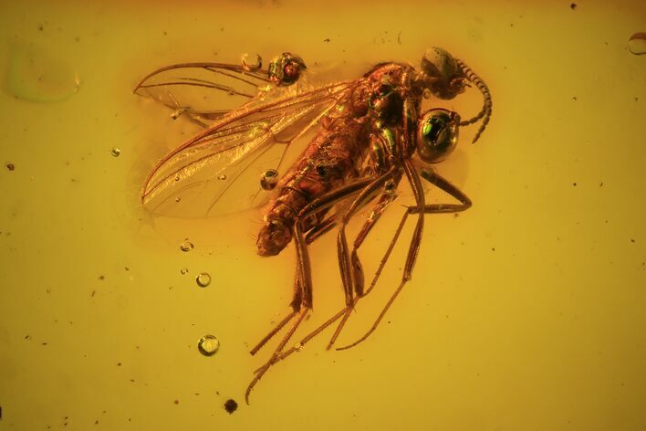 Detailed Fossil Fly (Diptera) In Baltic Amber
