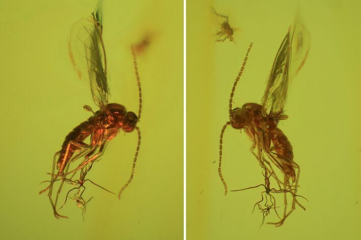 Detailed Fossil Fly (Sciaridae) In Baltic Amber