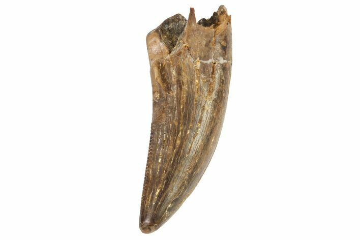 "Bargain, 1.11"" Tyrannosaur Tooth - Judith River Formation"