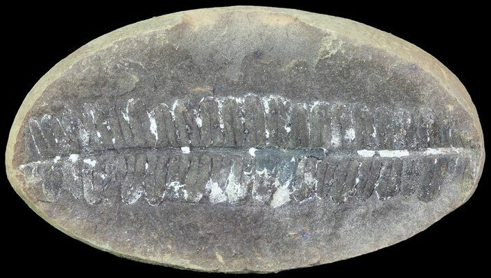 "3"" Pecopteris Fern Fossil - Mazon Creek"