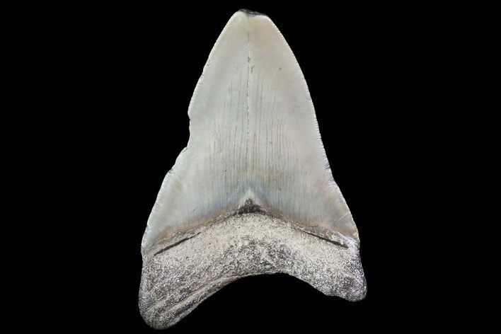 "Bargain, 3.63"" Fossil Megalodon Tooth"
