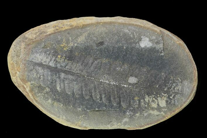 "2.6"" Pecopteris Fern Fossil (Pos/Neg) - Mazon Creek"