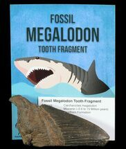 Carcharocles megalodon - Fossils For Sale - #72612