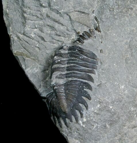 Partial Greenops Trilobite From NY
