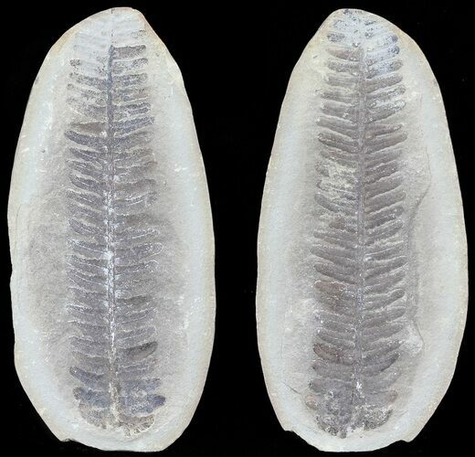 "3.6"" Pecopteris Fern Fossil (Pos/Neg) - Mazon Creek"
