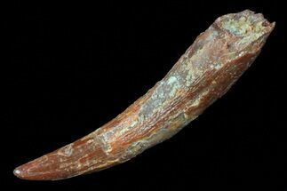 "Buy Large, 1.65"" Pterosaur (Coloborhynchus) Tooth - Morocco - #72694"