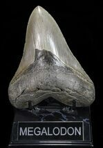 "Buy Serrated, 5.37"" Megalodon Tooth - Georgia - #72772"