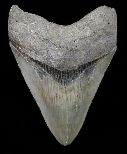 "Serrated, 4.58"" Megalodon Tooth - Georgia"