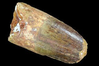 "Bargain, 1.9"" Spinosaurus Tooth - Real Dinosaur Tooth For Sale, #72809"