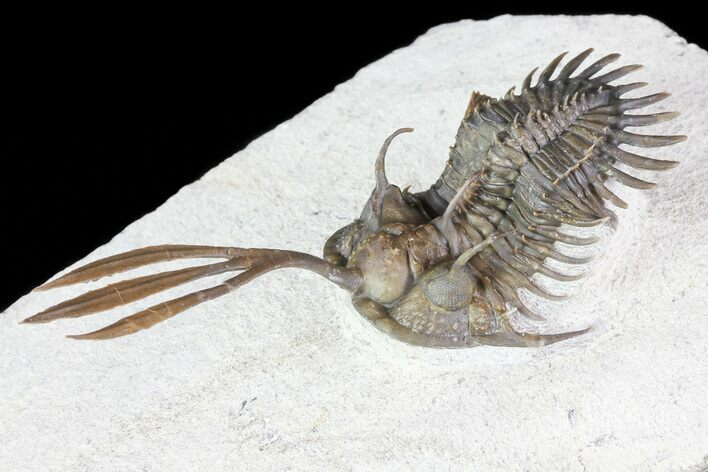 "2.7"" Trident"" Walliserops Trilobite - 40+ Free Standing Spines"