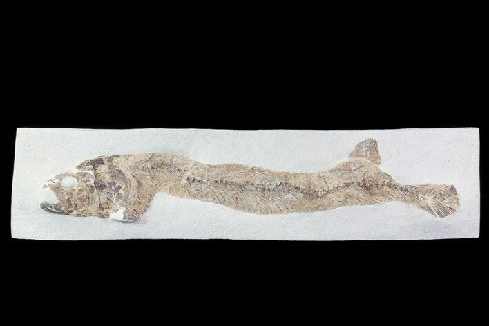 "25"" Cretaceous Fossil Fish - Goulmima, Morocco"