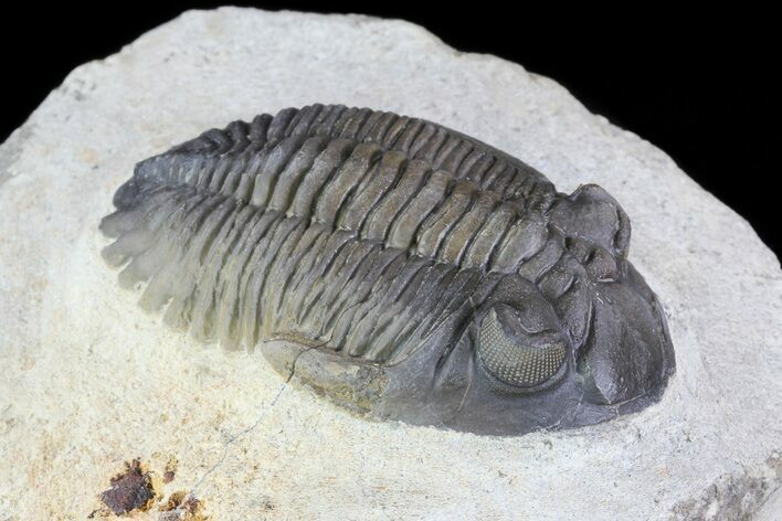 "2.1"" Multi-Colored Hollardops Trilobite - Great Eye Facets"