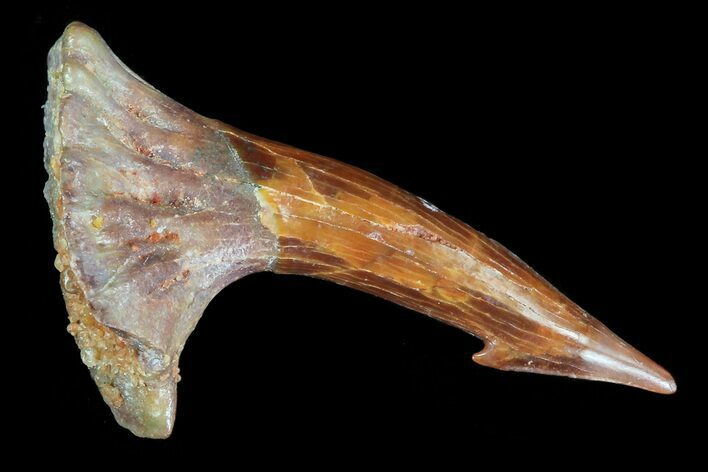 "1"" Cretaceous Giant Sawfish (Onchopristis) Rostral Barb"