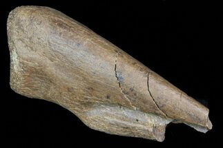 "Buy 1.6"" Partial Struthiomimus Hand Claw - Montana - #72532"