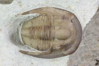 ".65"" Cordania Trilobite - Black Cat Mountain, Oklahoma For Sale, #73283"