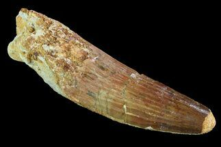 "Bargain, 3"" Spinosaurus Tooth - Real Dinosaur Tooth For Sale, #73547"
