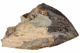 "Buy 1.2"" Rooted Triceratops Tooth - South Dakota - #73876"