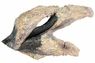 Buy Two Triceratops Teeth (One Unerupted) - Special Piece! - #73882