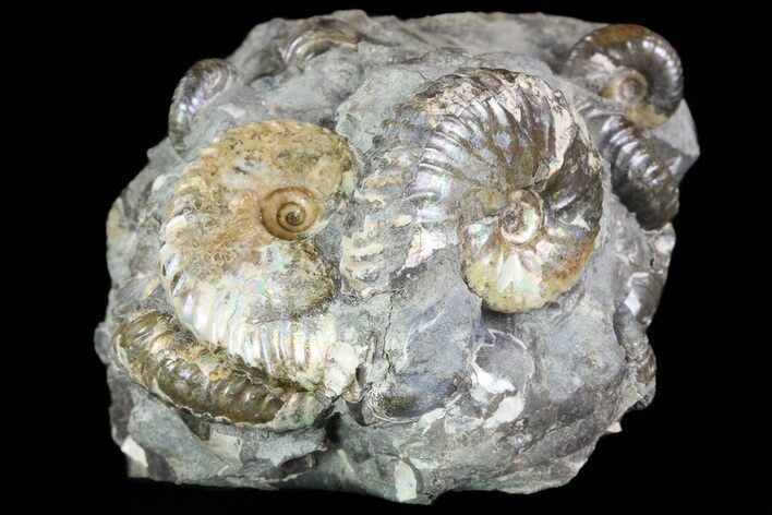 Hoploscaphites Ammonite Cluster - South Dakota