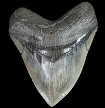 "Serrated, 4.80"" Fossil Megalodon Tooth - South Carolina For Sale, #74069"