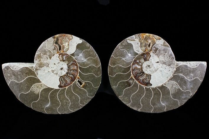 "Bargain, 5.8"" Cut & Polished Ammonite Fossil - Mud Filled"
