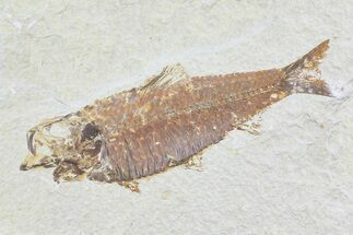 "Buy 5.3"" Knightia Fossil Fish - Wyoming - #74107"