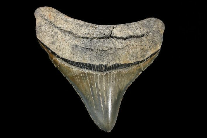 "Serrated, 2.40"" Megalodon Tooth - A Real Beauty"
