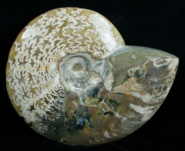 "7.2"" Wide Polished Cleoniceras Ammonite"