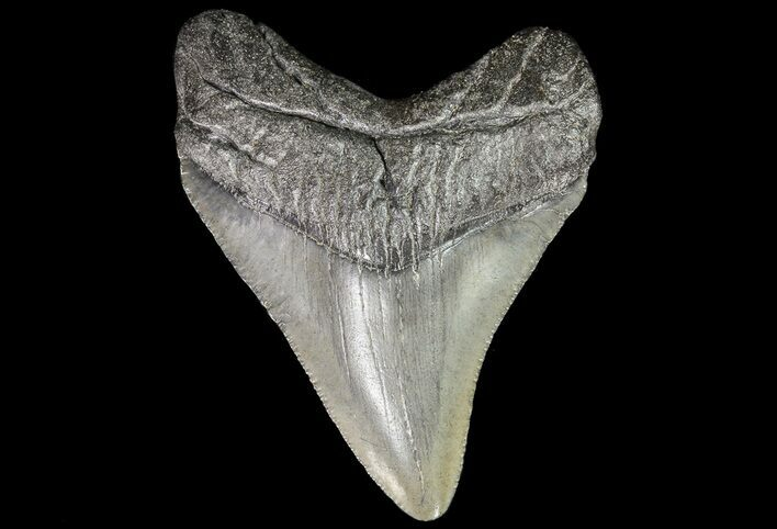 "2.44"" Juvenile Megalodon Tooth - South Carolina"